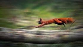 działająca wiewiórka Zdjęcie Stock