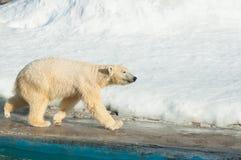 Działający biały niedźwiedź zdjęcia royalty free
