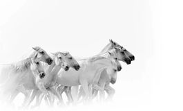 Działający biali konie Obrazy Royalty Free