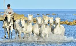 Działający Biali konie przez wody Obraz Stock