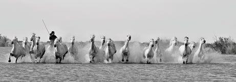 Działający Biali konie przez wody Obrazy Stock