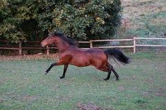 Działający brąz ćwiartki koń obraz stock
