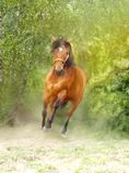 Działający brown koń Fotografia Royalty Free
