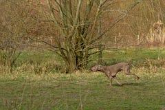 Działający charcica pies w zielonej łące - Canis zdjęcia royalty free