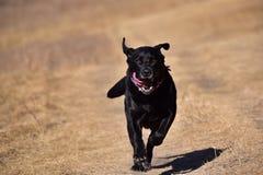 Działający czarny labrador Fotografia Royalty Free