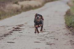Działający czarny pies, plenerowy zdjęcia royalty free