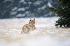 Działający eurasian rysia lisiątko na śnieżnej ziemi w zimnej zimie Fotografia Royalty Free