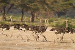Działający kierdel strusie w Afryka Zdjęcia Stock