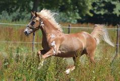 Działający koń zdjęcia royalty free