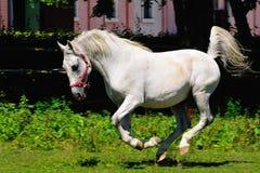 Działający koń Obraz Stock
