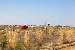 Działający koń Fotografia Royalty Free