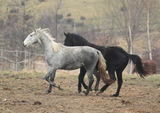 Działający konie Obraz Royalty Free