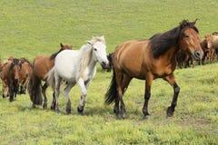 Działający konie Fotografia Royalty Free