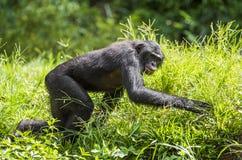 Działający męski Bonobo w naturalnym siedlisku zielony środowisk naturalnych Bonobo (niecki paniscus) Zdjęcia Stock