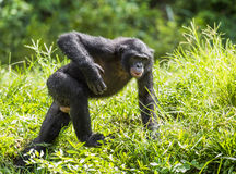 Działający męski Bonobo w naturalnym siedlisku zielony środowisk naturalnych Bonobo (niecki paniscus) Zdjęcia Royalty Free