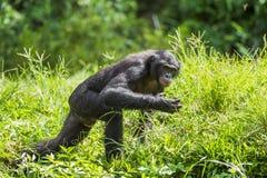 Działający męski Bonobo w naturalnym siedlisku zielony środowisk naturalnych Bonobo (niecki paniscus) Obraz Royalty Free