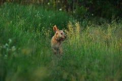 Działający pies Fotografia Royalty Free