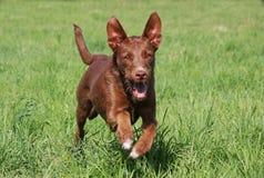 Działający pies Fotografia Stock