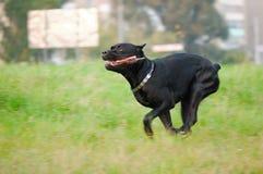 Działający pies zdjęcie royalty free
