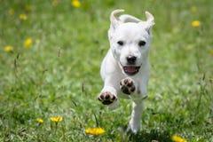 Działający pies zdjęcia royalty free