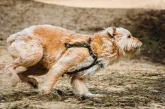 Działający pies Obrazy Royalty Free