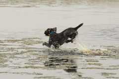 Działający pies w wodzie Zdjęcia Stock