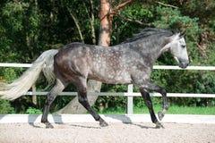 Działający popielaty koń wewnątrz kieruje Zdjęcie Royalty Free