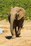 działający słoni potomstwa Zdjęcia Royalty Free