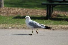 Działający seagull Fotografia Royalty Free