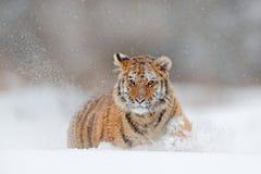 Działający tygrys z śnieżną twarzą Tygrys w dzikiej zimy naturze Amur tygrysi bieg w śniegu Akci przyrody scena, niebezpieczeństw Zdjęcie Stock