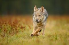 Działający wilczy lisiątko od frontowego widoku fotografia stock
