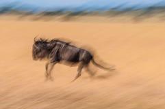 Działający wildebeest fotografia stock
