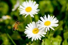 działanie pszczół Zdjęcia Royalty Free