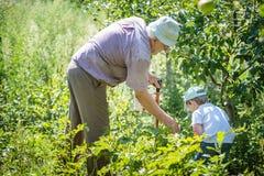 Dziad i wnuk zbiera kartoflane ścigi fotografia royalty free