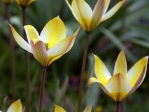 Dzicy żółci tulipany Zdjęcie Royalty Free
