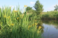 Dzicy żółtego irysa kwiaty obrazy stock