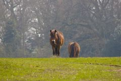 Dzicy żywi Exmoor koniki w Południowym Anglia obrazy royalty free