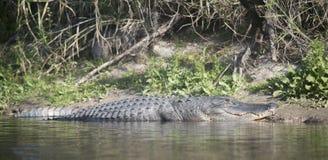 Dzicy aligatory w Myakka stanu lesie Floryda obraz stock