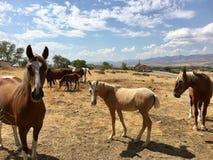 Dzicy Amerykańscy mustangów koni roczniaki zdjęcie stock