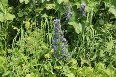 dzicy błękitny kwiaty Zdjęcie Stock