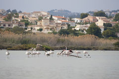 dzicy Calpe flamingi Fotografia Stock