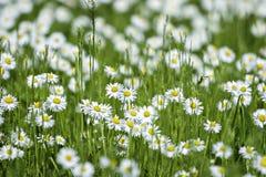 Dzicy chamomiles w lata polu Kwiaty n Fotografia Royalty Free