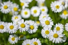 Dzicy chamomiles w lata polu Kwiaty n Obraz Royalty Free