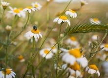 Dzicy Chamomille kwiaty z Zieloną butelki komarnicą Zdjęcia Stock