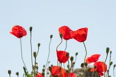 Dzicy Czerwoni maczków kwiaty Fotografia Stock
