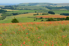 Dzicy czerwoni makowi kwiaty na Sussex południe Zestrzelają Fotografia Stock