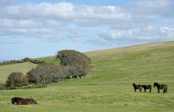 Dzicy Exmoor koniki na Countisbury, Północny Devon fotografia royalty free