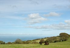 Dzicy Exmoor koniki na Countisbury, Północny Devon obrazy stock
