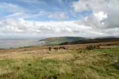 Dzicy Exmoor koniki na Porlock wzgórzu, Północny Devon fotografia stock