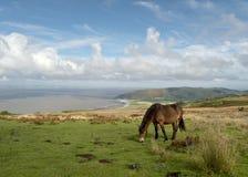 Dzicy Exmoor koniki na Porlock wzgórzu, Północny Devon obraz royalty free